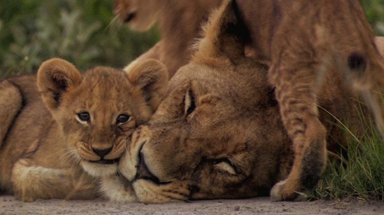 Ma di Tau and her cubs